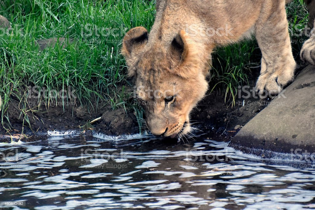 Thirsty Lion stock photo