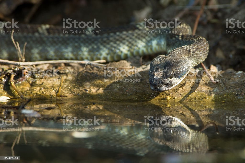 Thirsty rattlesnake with reflection takes a drink. stock photo