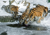 A tigress leads her two cubs to a lake to drink.