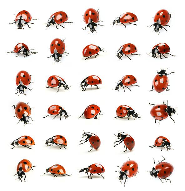 Dreißig ladybugs – Foto