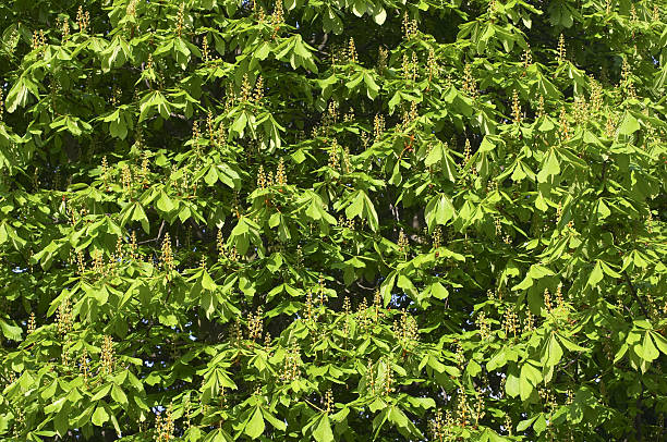 horse chestnut flourishing green in spring - whiteway stock photos and pictures