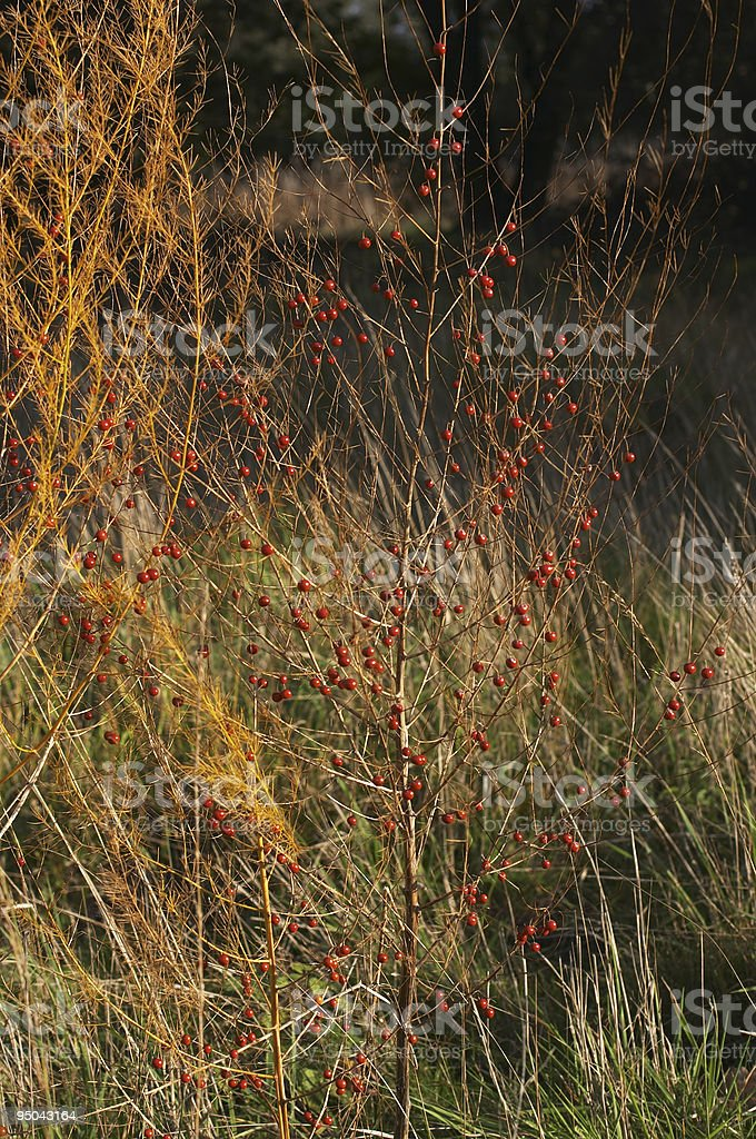Wild asparagus officinalis festive orange and red stock photo
