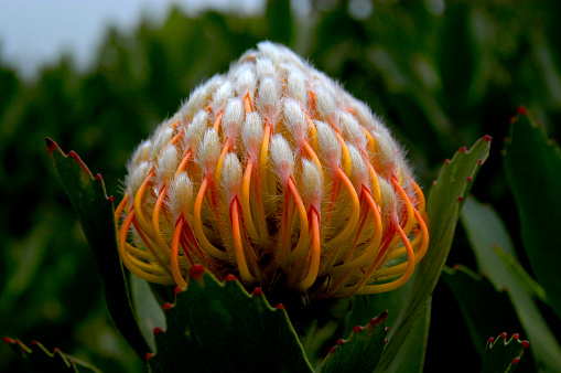 Scarlet Ribbon is the name of this protea which is commonly used in flower arrangements due to its unique and beautiful colors.