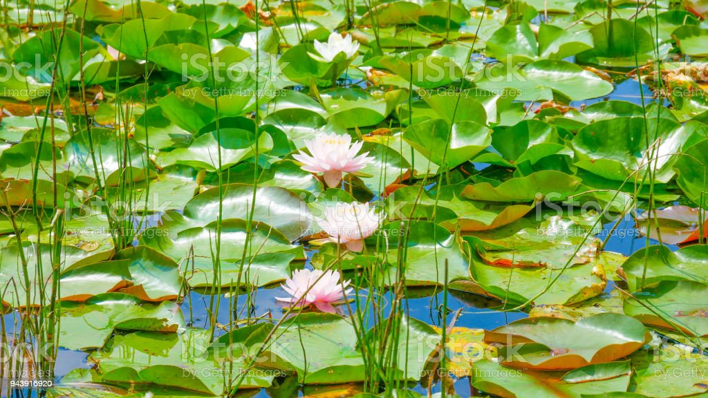 This Beautiful Water Lily Or Lotus Flower Blooming On The Water In A