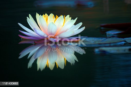 This beautiful waterlily or lotus flower is complimented