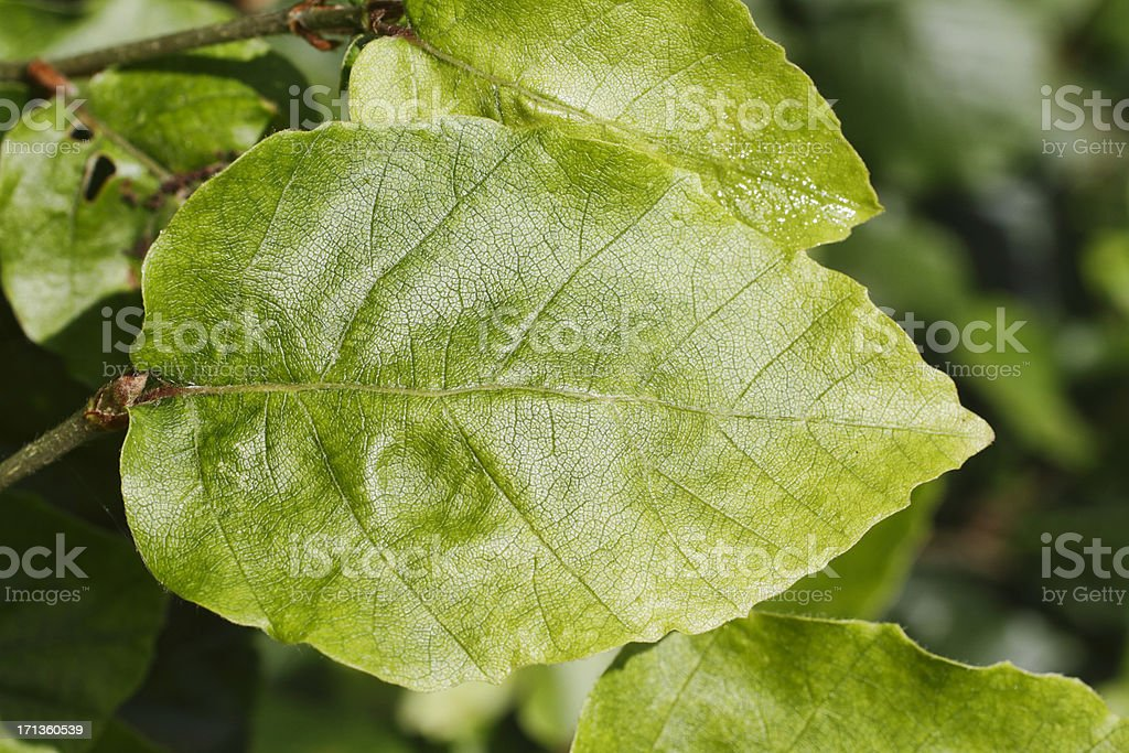 Beech leaf in summer close up royalty-free stock photo