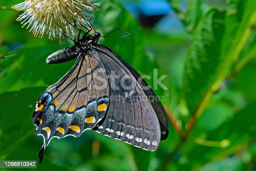 This Black Swallowtail Butterfly hangs upside down to get the job done in Middle Creek, PA, United States