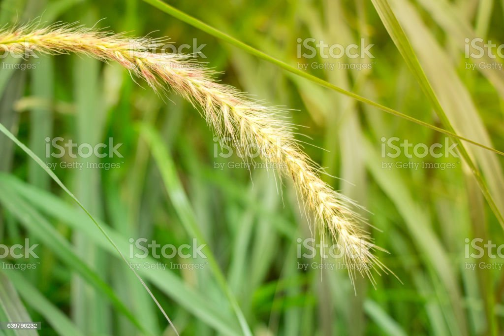This bright and powerful grass at sunset stock photo