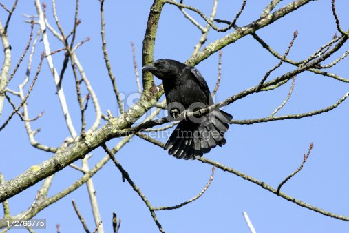 This carrion crow (Corvus corone) is not just balancing with his spread tail feathers. He has just let out a raucous challenge, and is about to issue a second. Unmistakably, an aggressive posture intended to threaten a rival.