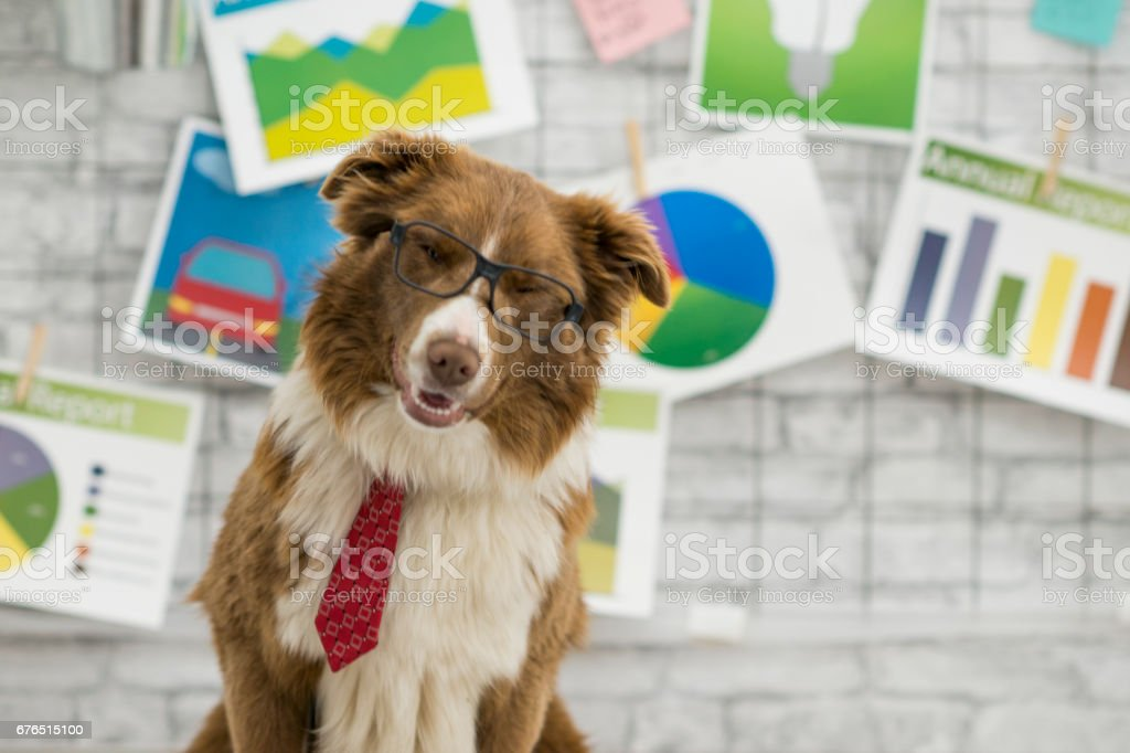 Cute brown border collie breed dog sitting in front of many business...