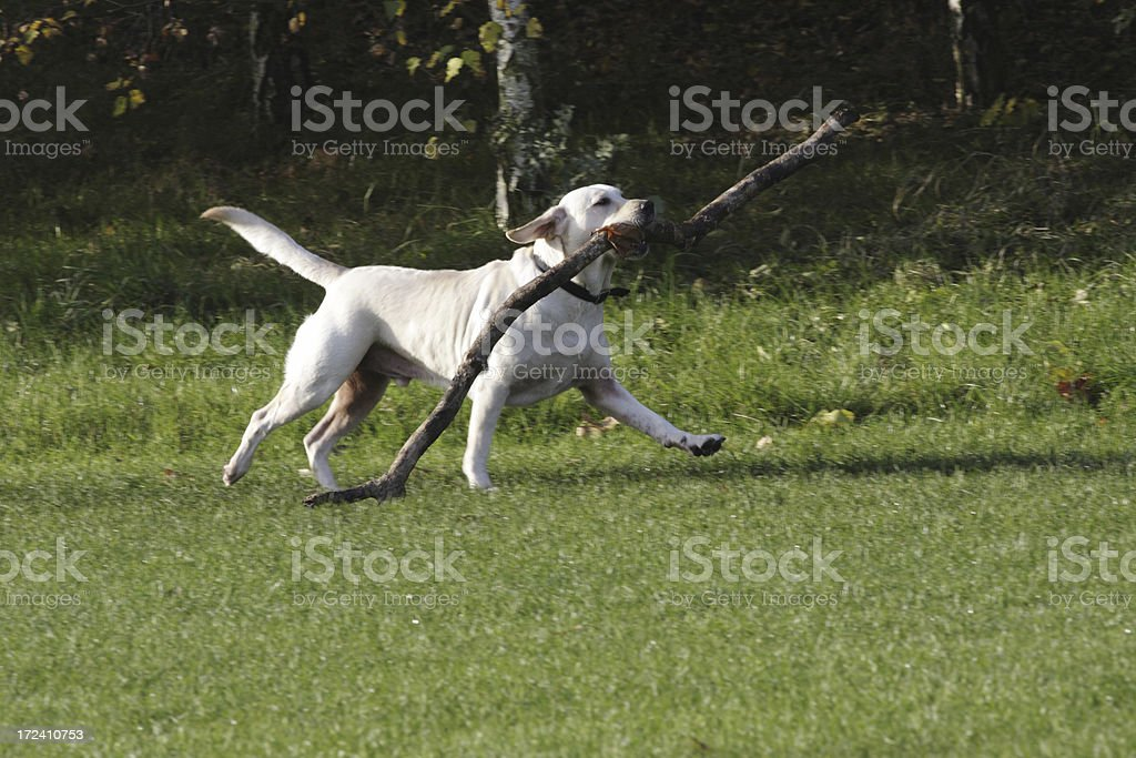 Golden retriever retrieves large branch royalty-free stock photo