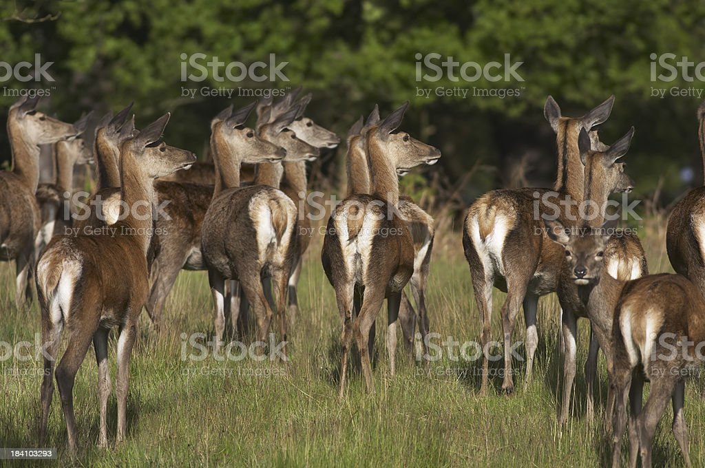 Looking right herd of red deer hinds / females stock photo