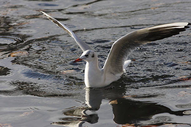 blackheaded gull larus ridibundus winter plumage wings akimbo - whiteway stock photos and pictures