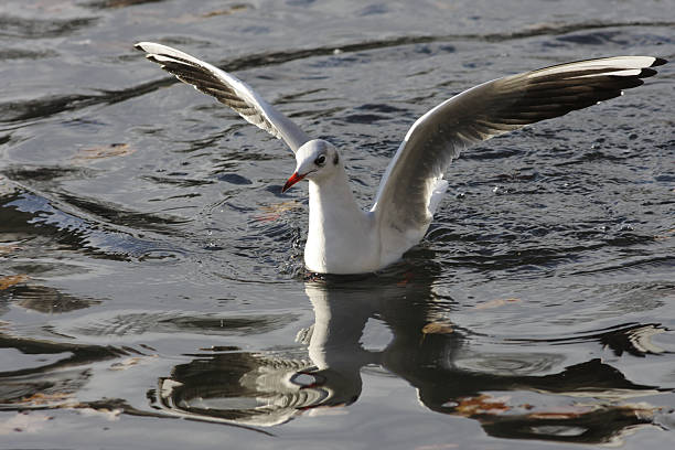 blackheaded seagull larus ridibundus feeding rising from water - whiteway stock photos and pictures