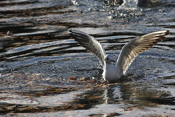 blackheaded seagull larus ridibundus rising from water - whiteway stock photos and pictures