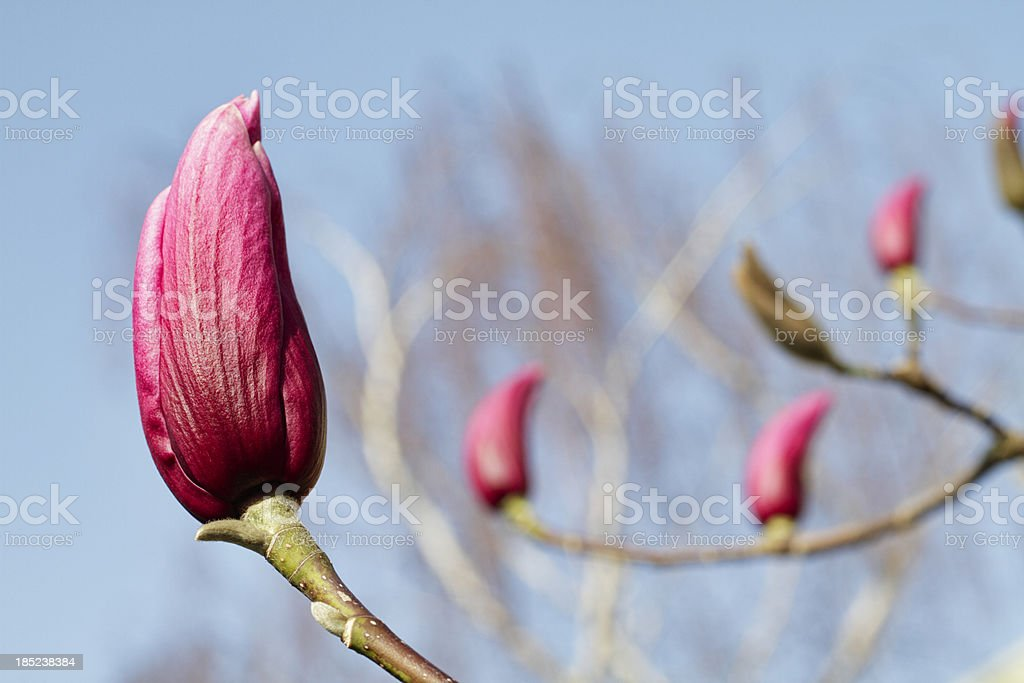 Purple Magnolia liliiflora flower bud with spring blue sky royalty-free stock photo
