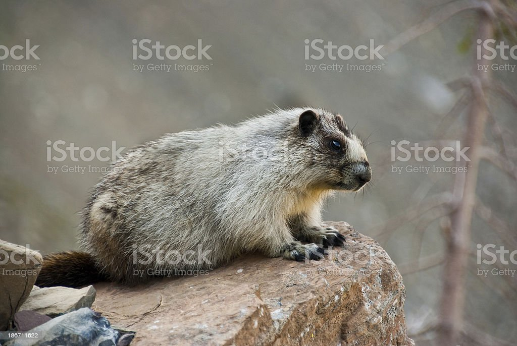 Hoary Marmot on a Boulder This Hoary Marmot (Marmota Caligata) is perched on a boulder alongside the Highline Trail near Logan Pass in Glacier National Park, Montana, USA. Animal Stock Photo