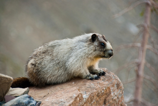 Hoary Marmot On A Boulder Stock Photo - Download Image Now