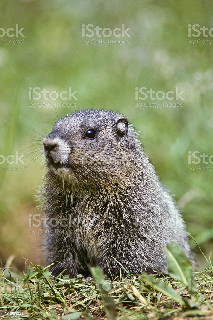 Hoary Marmot Peaking Out of its Burrow - Royalty-free Animal Stock Photo