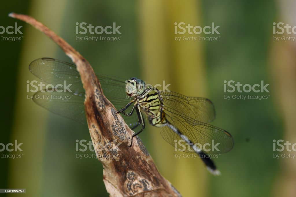 This insect animal is called a dragonfly green in black, transparent...