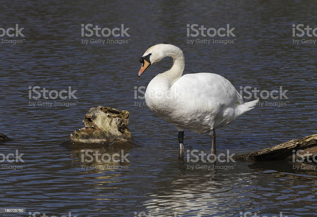 Male mute swan Cygnus olor cob standing in water royalty-free stock photo