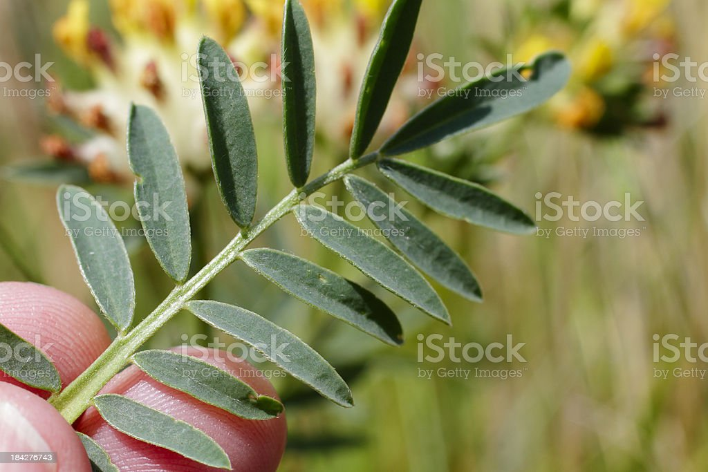 Leaf of kidney vetch anthyllis vulneraria yellow flower stock photo leaf of kidney vetch anthyllis vulneraria yellow flower royalty free stock photo mightylinksfo