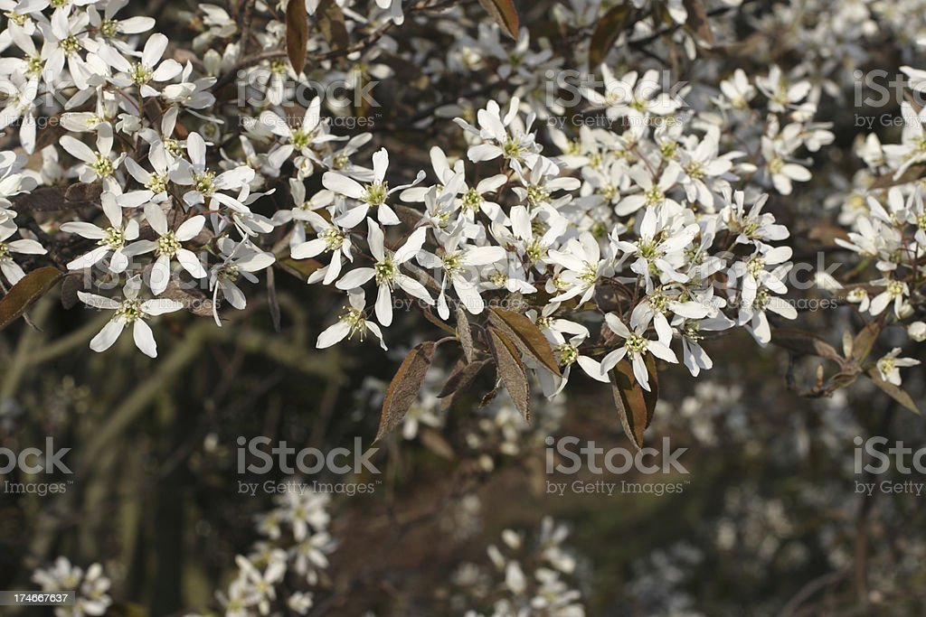 Brown leaves and star shaped white flowers amelanchier lamarckii brown leaves and star shaped white flowers amelanchier lamarckii royalty free stock photo mightylinksfo