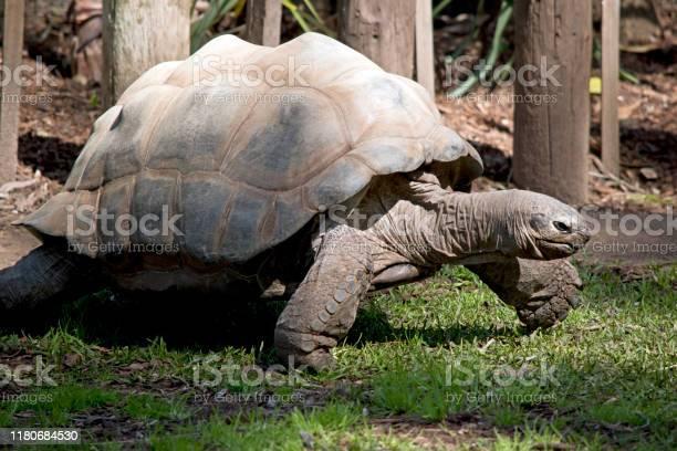 This is a side view of an aldabra giant tortoise picture id1180684530?b=1&k=6&m=1180684530&s=612x612&h=w0vumutzy0kwzkzkqg7k146idqxmtkgucnwr4eiekjg=