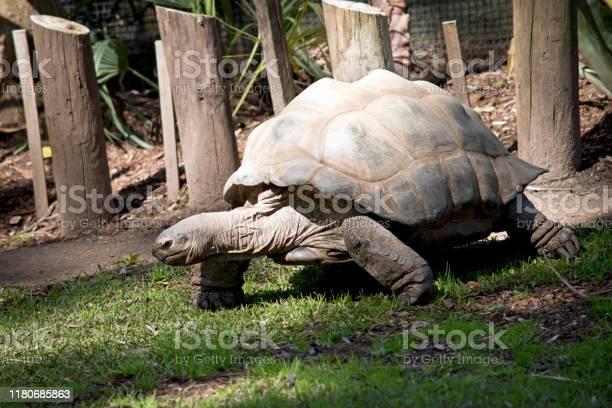 This is a three quarter view of a aldabra giant tortoise picture id1180685863?b=1&k=6&m=1180685863&s=612x612&h=7etdunz1mhphge3girct j3khbcvpw5bdmmqetussls=