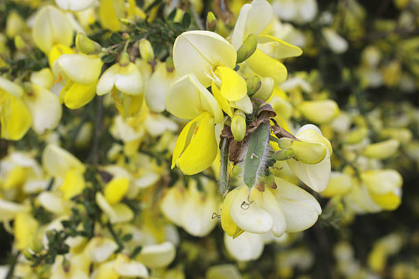 flowers of scotch broom cytisus scoparius in close up - whiteway stock photos and pictures
