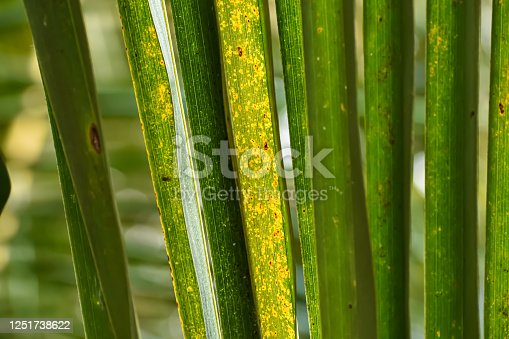 1145104190 istock photo This is a yellow and green coconut leaf macro shot in the daytime. 1251738622