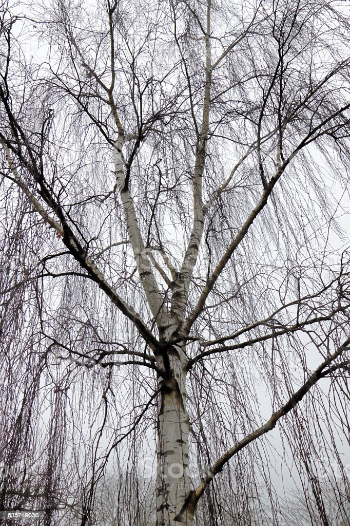 Spectacular weeping silver birch tree on foggy damp autumn day stock photo