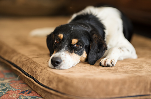 Close-up of a pet dog lying on a mattress and resting indoors
