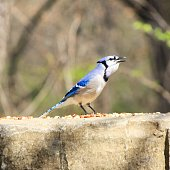 A blue jay protecting its food