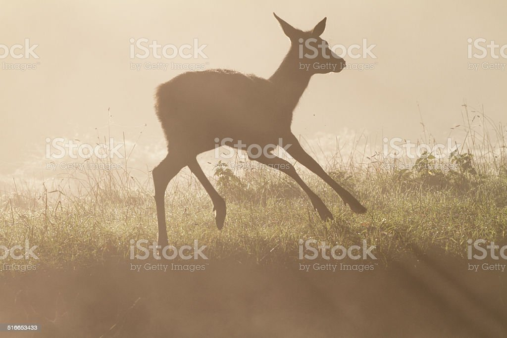 Frolicsome red deer fawn in foggy autumn dance royalty-free stock photo