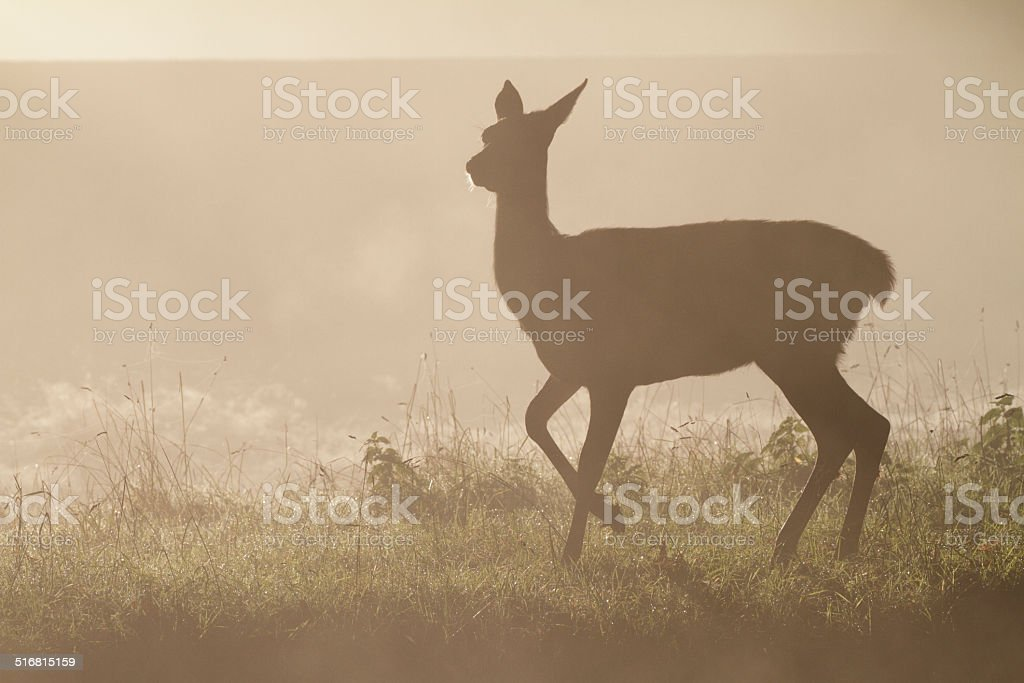 Frolicsome red deer fawn in foggy autumn dance stock photo