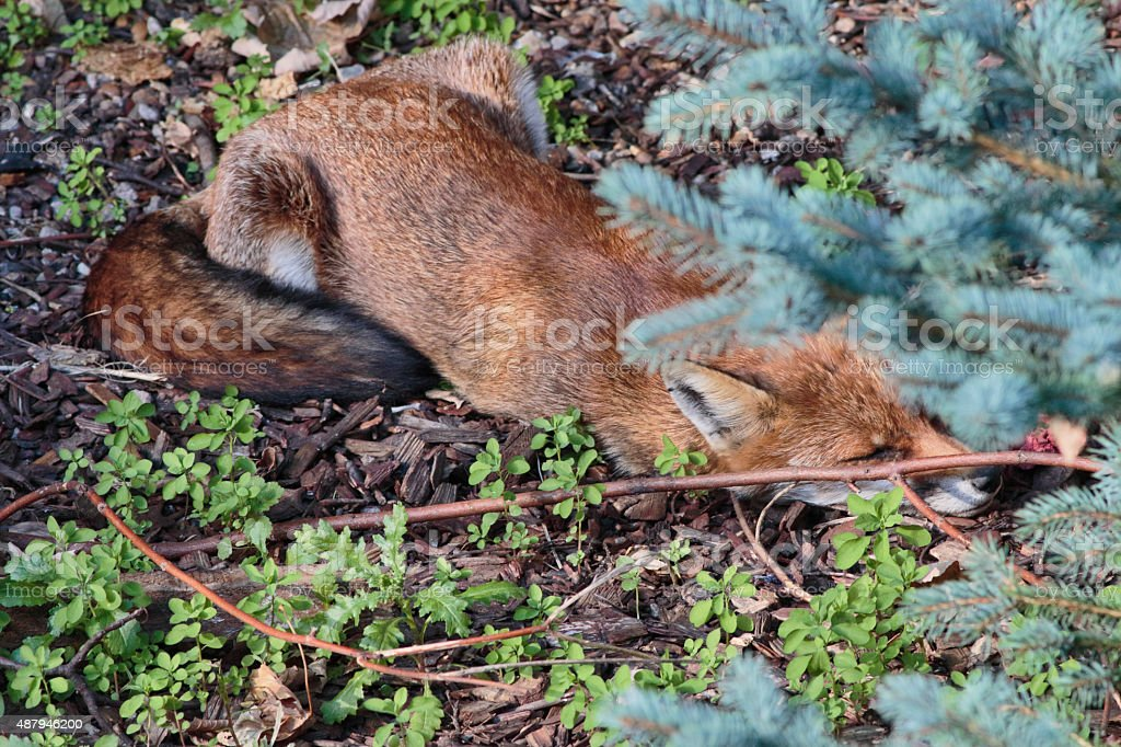 Urban red fox cub stretched out sleeping in town garden stock photo