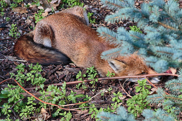 urban red fox cub stretched out sleeping in town garden - whiteway fox stock photos and pictures