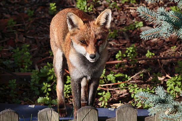 curious urban red fox cub in town garden - whiteway fox stock photos and pictures