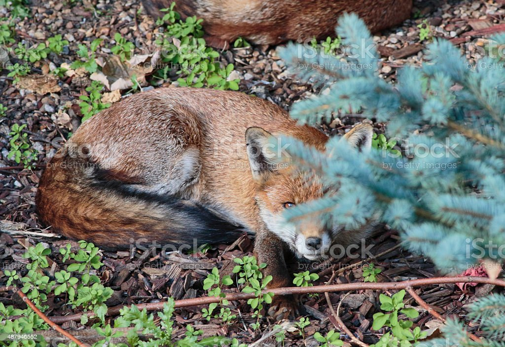 Urban red fox cub peering from behind a tree stock photo