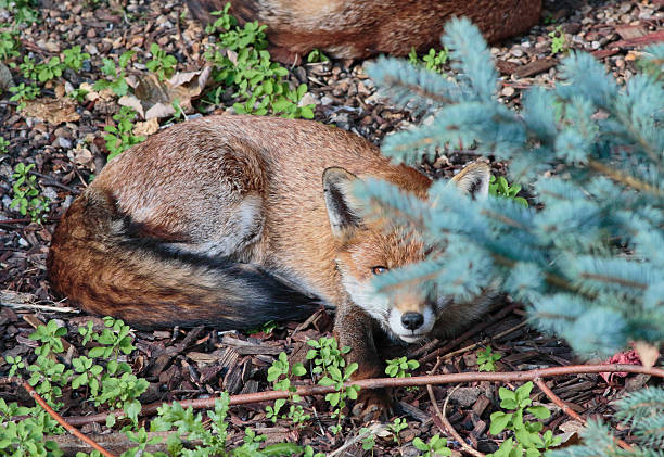 urban red fox cub peering from behind a tree - whiteway fox stock photos and pictures