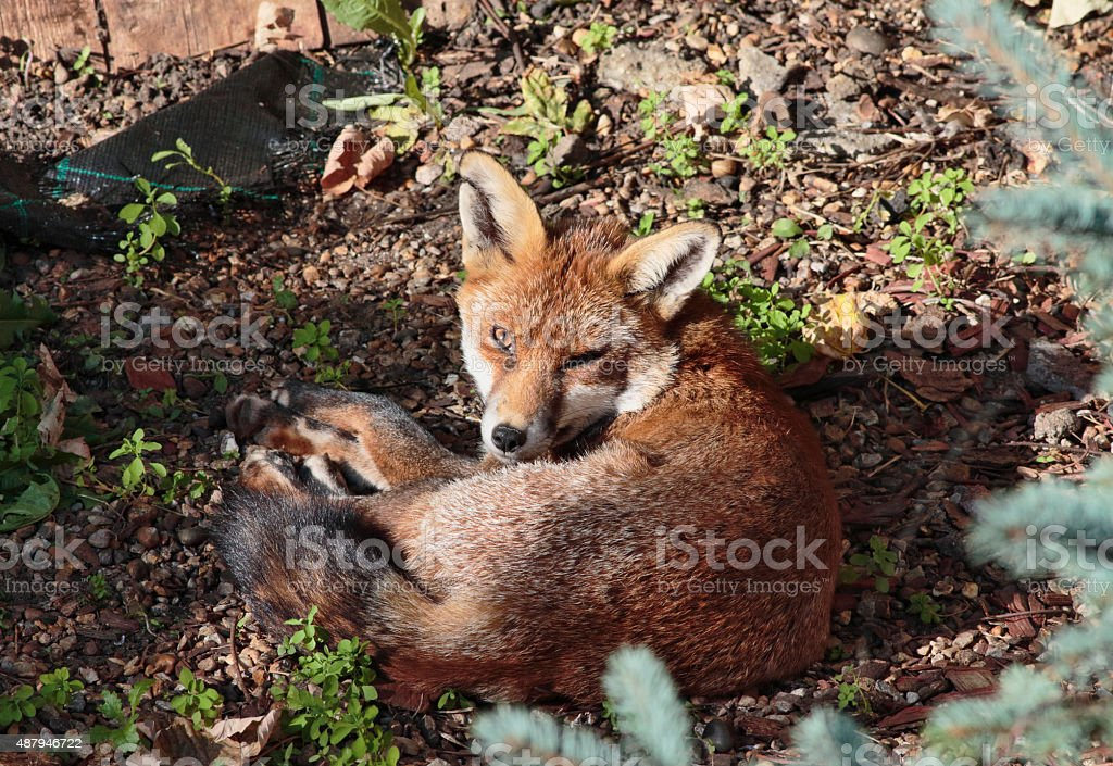 Alert urban red fox cub relaxed lying down stock photo