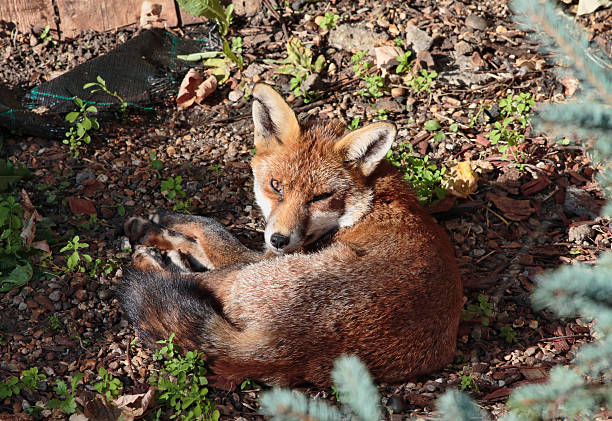 alert urban red fox cub relaxed lying down - whiteway fox stock photos and pictures