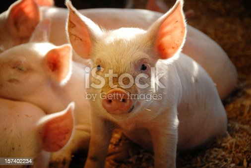 Close-up of a cute little piglet with accents of sunlight streaming through the barn window.