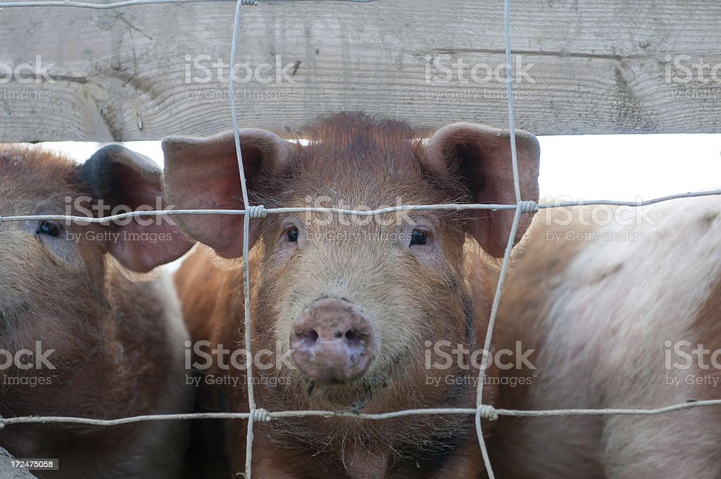 This little piggy went to market stock photo