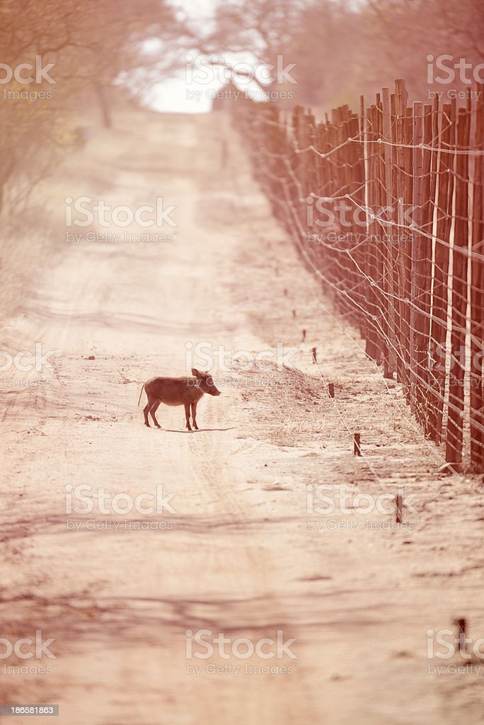 This Little Piggy Went Wiii All The Way Home royalty-free stock photo