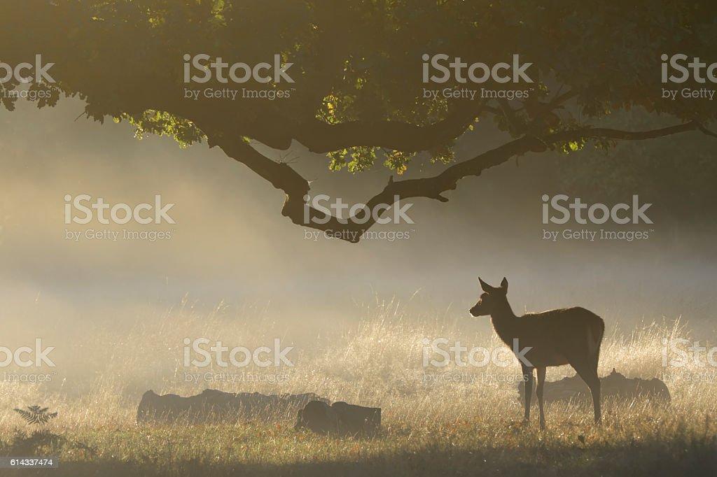 Female red deer at dawn orange sunbeams misty landscape stock photo
