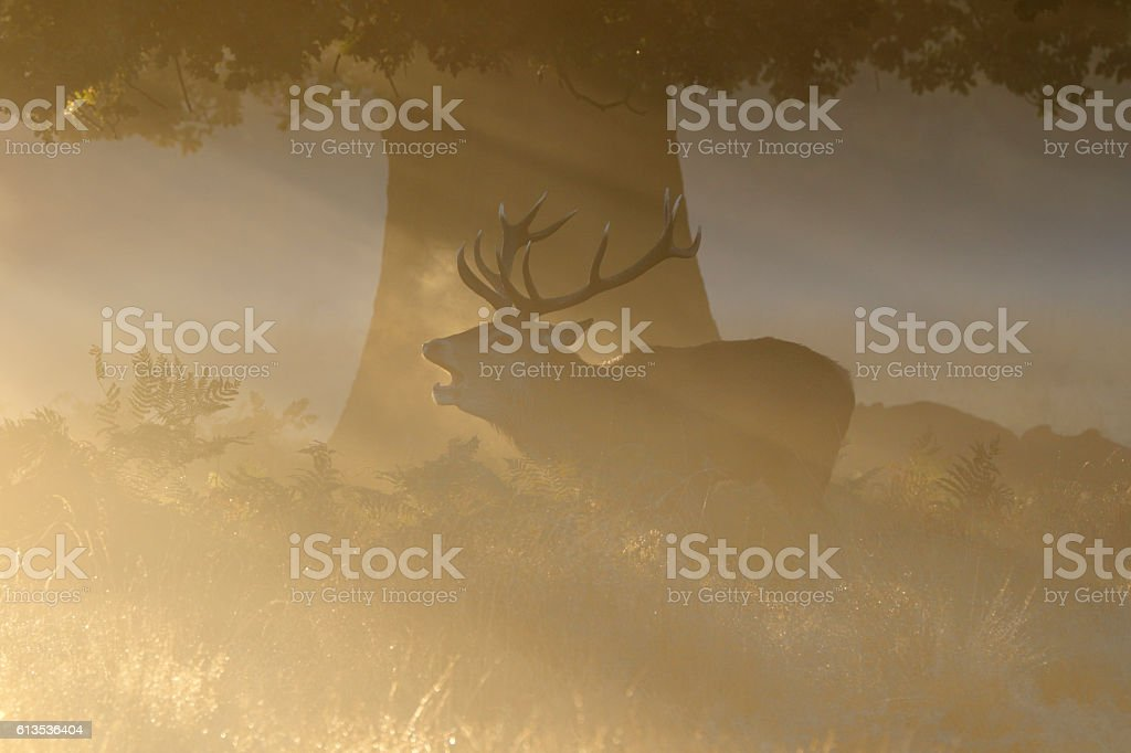 Orange sunbeams and stag roaring in the rut stock photo