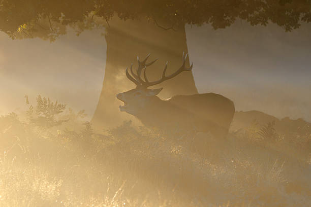 orange sunbeams and stag roaring in the rut - whiteway deer stock photos and pictures