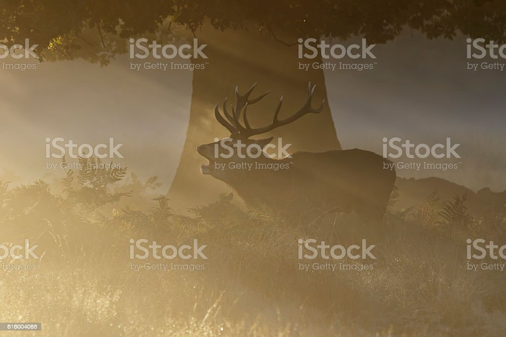 Stag roaring in the rut oak tree and orange sunbeams stock photo